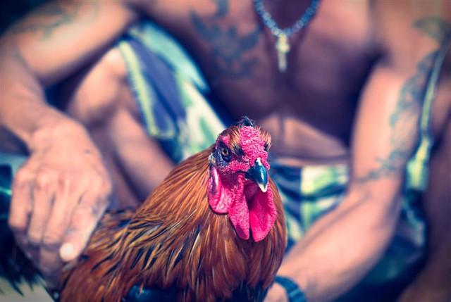 Main Judi Sabung Ayam Secara Efektif
