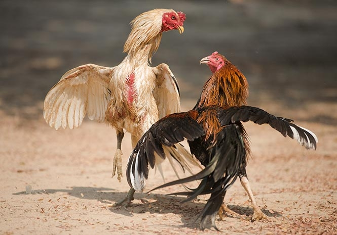Sabung Ayam Online dan Kebudayaan Indonesia