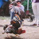 Jenis Pertaruhan Sabung Ayam Online